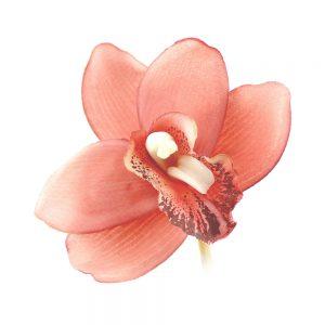 orchidee luz corail